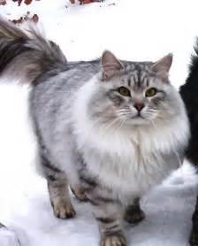 siberian cats cats siberian cats