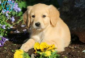 ace golden retriever puppy for sale keystone puppies