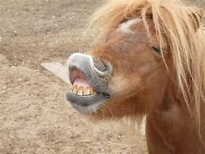 4 Reasons Why Horses Show Their Teeth  U2013 Ihearthorses Com