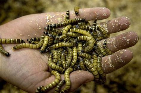 mealworms insects eat in future tasty delicous food
