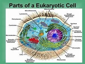 4 2 Parts Of A Eukaryotic Cell