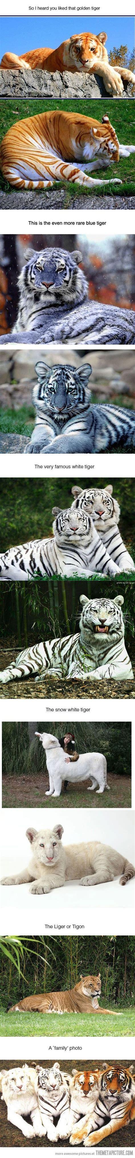 Tigers Animals Pets Golden Tiger Pinterest