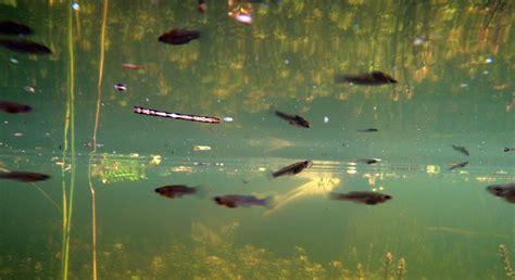 mosquitofish big cypress national preserve
