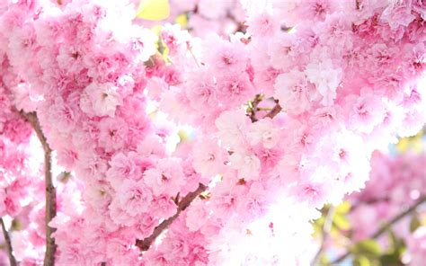 Pink Cherry Blossom Wallpaper (62+ Images