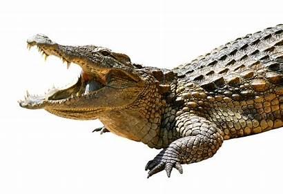 Crocodile Transparent Tubes Alligator Aligator Animaux Sauvages