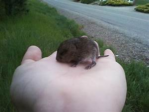 A Baby Vole! | Top Secret by IZ
