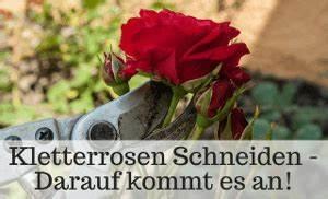 Rosen Schneiden Zeitpunkt : kletterrosen schneiden gr nde zeitpunkt tipps video ~ Frokenaadalensverden.com Haus und Dekorationen