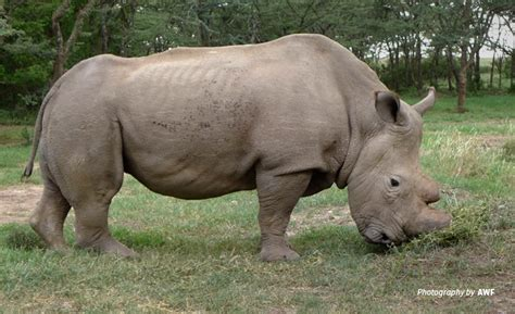 Northern White Rhino Male