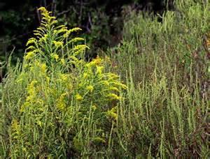 What Does Ragweed Look Like