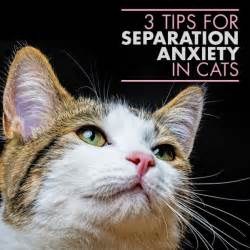 anxiety cat three methods for cat separation anxiety