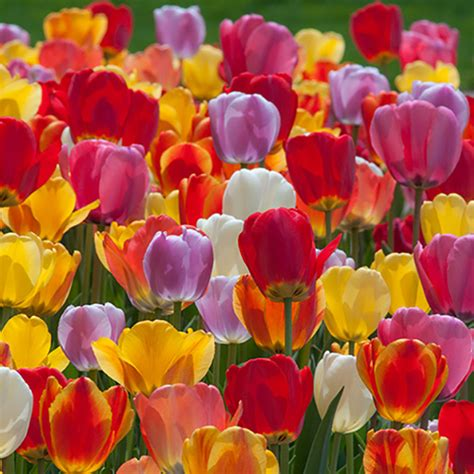 tulip bulbs colorblends 174 wholesale flower bulbs from