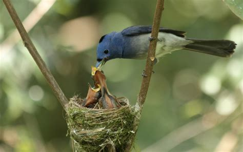do birds really abandon their chicks if touched by humans
