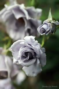 Beautiful Grey Roses