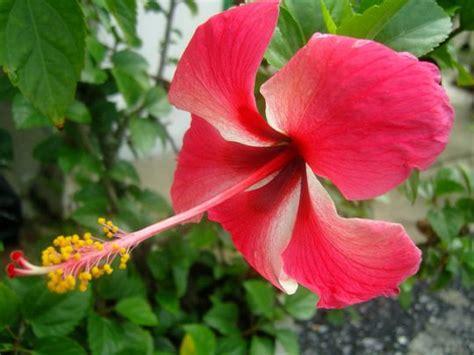 tanaman hias kembang sepatu daftar tanaman hias