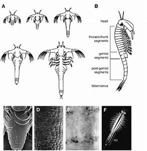 Larval Development And Establishment Of The Body Plan In