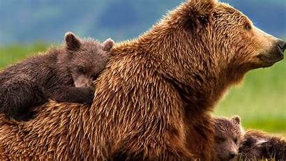 Bear Wildlife Wallpapers Animals