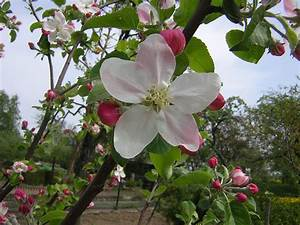 Apple Blossom Free Stock Photo