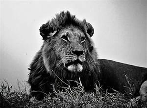 Black and White Lion Wallpaper - WallpaperSafari