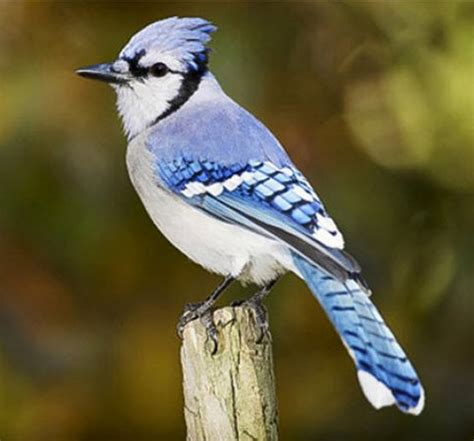 the blue bird of happiness florida scrub jay me and my