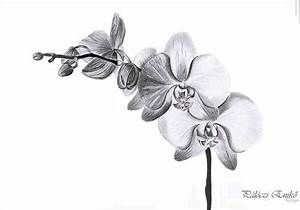 Drawn orchid orchidaceae - Pencil and in color drawn ...