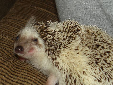 Smiling Hedgehog Sits With Palms Outstretched
