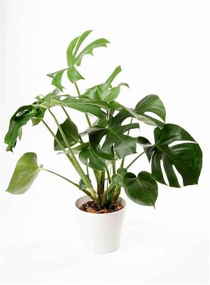 Plants Indoor Plant Them Leaf Tree Tropical