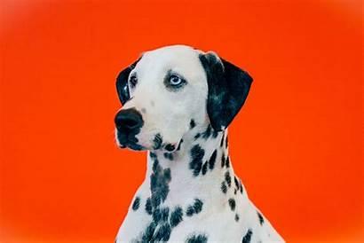 Dalmatian Human Buzzfeed Deaf