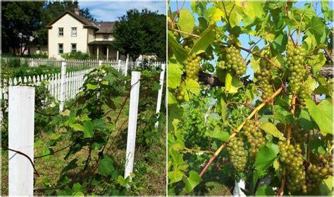 11 Steps To Starting Your Own Organic Backyard Vineyard
