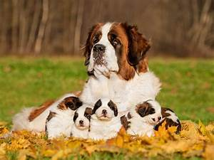 Biggest Dog Breed In The World 53855   HOMEUP