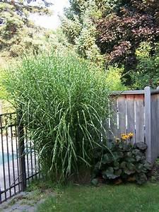 Miscanthus Sinensis Strictus : grasses and such the garden worm blog ~ Michelbontemps.com Haus und Dekorationen