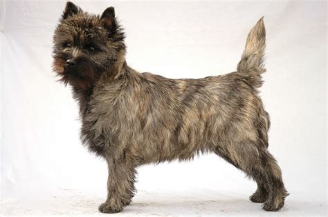 terrier shedding a lot cairn terrier facts pictures puppies temperament