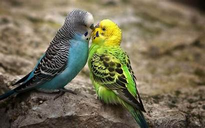 Birds Desktop Wallpapers Backgrounds Bird Background Budgie