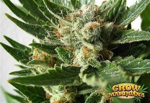 Automatic Indoor Lights Silver Haze Automatic Seeds Strain Review Grow