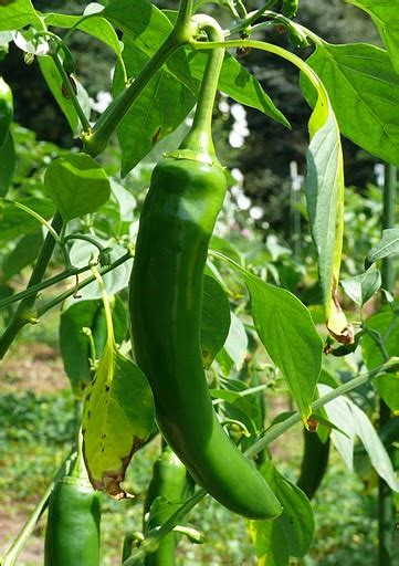 capsicum annuum garden salsa wikigardener fandom
