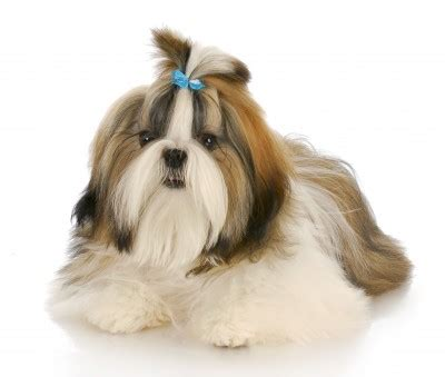 twenty shih tzu facts