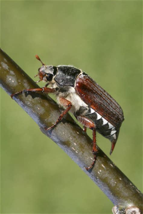 Welche Käferarten Verursachen Pflanzenschäden Und Wie
