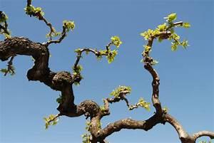 Weinreben Schneiden 1 Jahr : maulbeerbaum schneiden so machen sie es richtig ~ Lizthompson.info Haus und Dekorationen