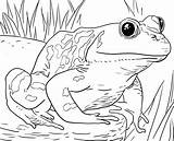 Coloring Animals Zoo Pages Frog sketch template