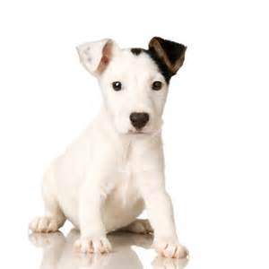 Le Chien Russel by How To House Train A Jack Russell Puppy Pets