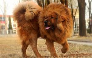 Everything about your Tibetan Mastiff - LUV My dogs