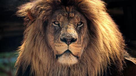 Amazing Lion Wallpaper