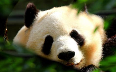 Animal Pictures Wallpaper - panda wallpapers hd wallpapers