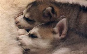 Cute Baby Husky Puppies - 4k Wallpapers