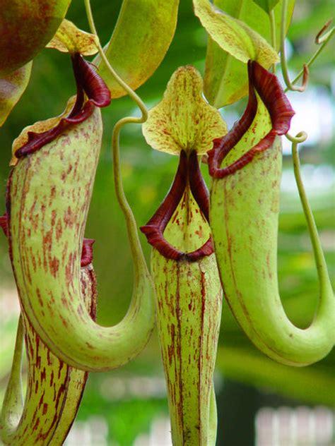 pitcher plant pitcher plants