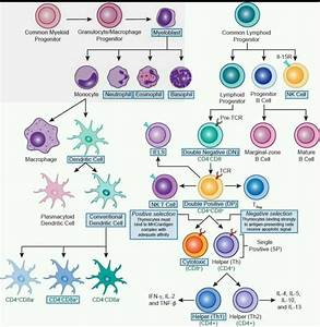 Immune Cells Differentiation  U2013 Biodatamics