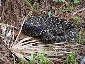 Eastern Diamondback Rattlesnake Photo Album