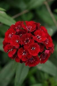 DIANTHUS barbatus SWEET RED (pellets)  Red