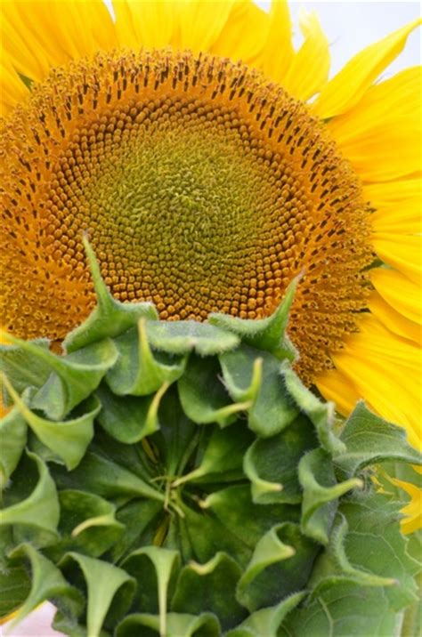 sun herbs sun flower herbal oils plant free stock photos in jpeg jpg 3264x4928 format for free download