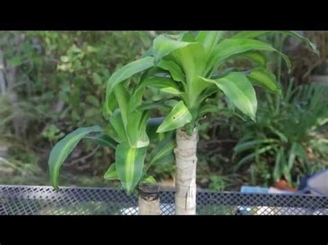 indoor corn plant care instructions garden space youtube