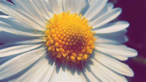 praestkrage blomma bilder